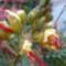 argentin pillangófa  /caesalpinia gilliesii/