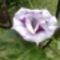 lila, duplaszirmú datura