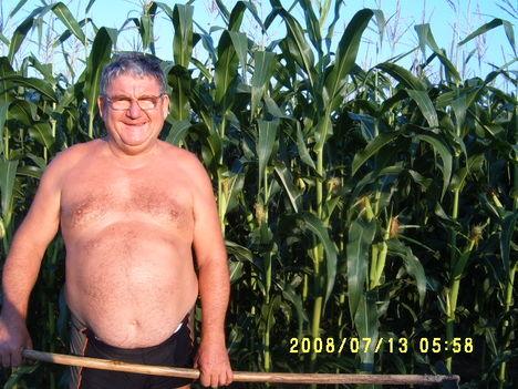 Még Bábolnát is lepipáltam a kukorica magasságommal.Minden tő 3-4 csövet hozott.