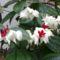 vérző szivvirág  /clerodendrum thomsoniae/