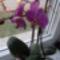 Lila orchideám
