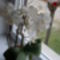 orchideám nagy fehér