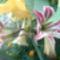 ősszel szabadban kivirágzott az amarillisz  3