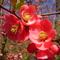 kedvenc tavaszi virágaim egyike