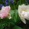 rózsaszín tuli